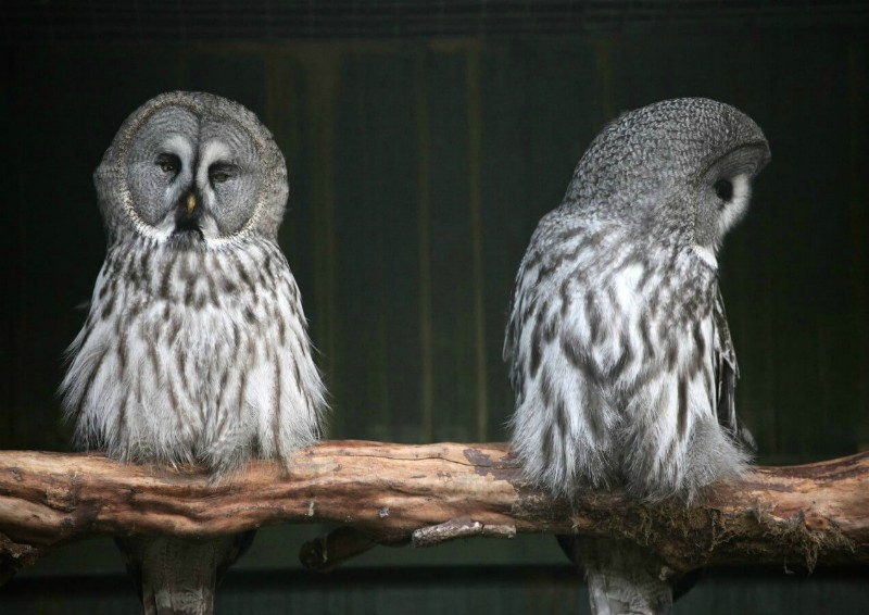 Two-owls-on-branch-with-one-looking-away